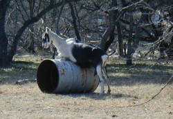 Trying to Have Itself Over a Barrel; image by plong (http://www.flickr.com/photos/plong/)