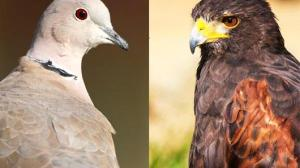 Avian Games: Chicken, or Hawk-and-Dove?